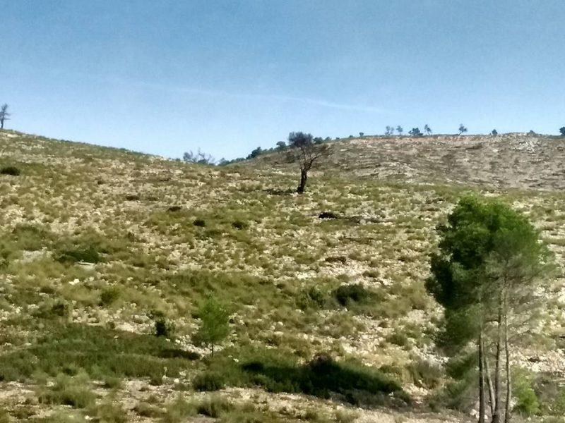 Nueva siembra de bellotas en el Almirez para seguir recuperando las hectáreas calcinadas en 2015