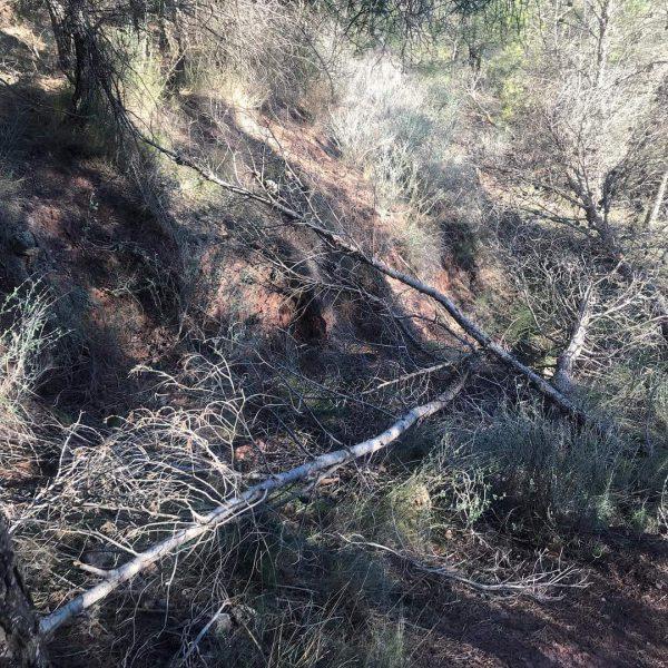 """Reclaman """"medidas urgentes"""" contra las plagas de insectos perforadores del pino"""