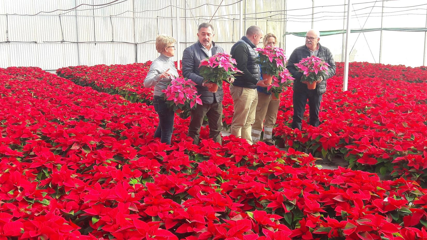 Más de 5.000 flores de Pascua decorarán los distintos espacios verdes de cara a la Navidad